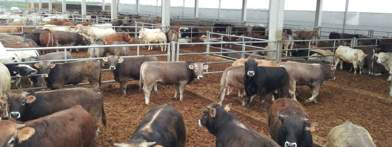 Assessorament per a exportacions del bestiar gràcies a Asvet a Lleida