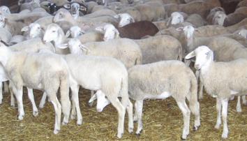 asesoramiento para tu explotación ganadera de ovejas en Lleida